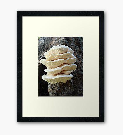 LOOKS LIKE COOKIES - A NEW SHELF FUNGUS FOR ME! Framed Print