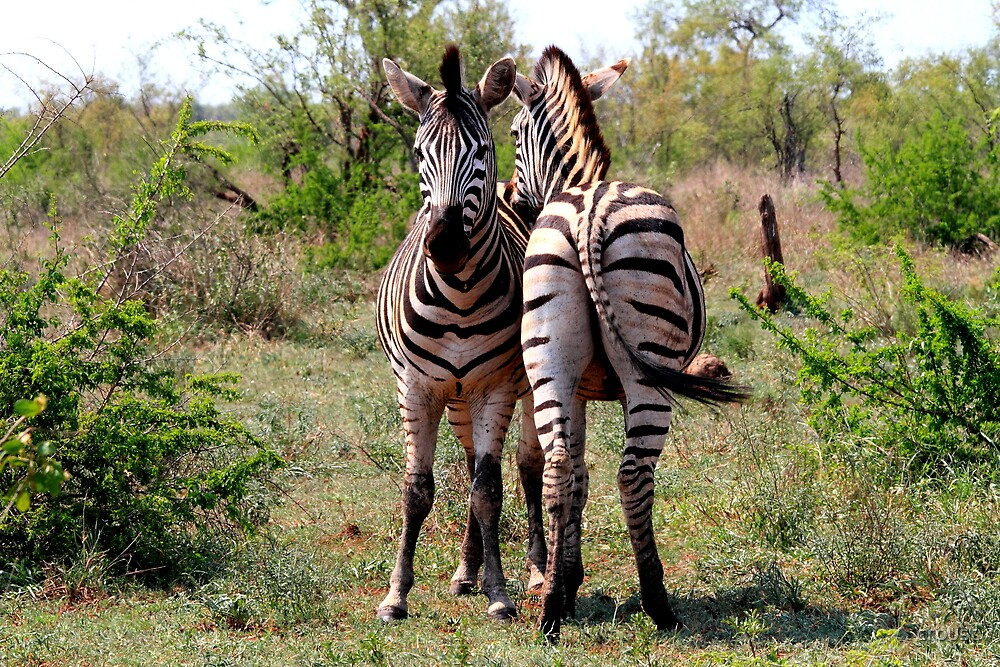 Zebra, Zebra by croust by croust
