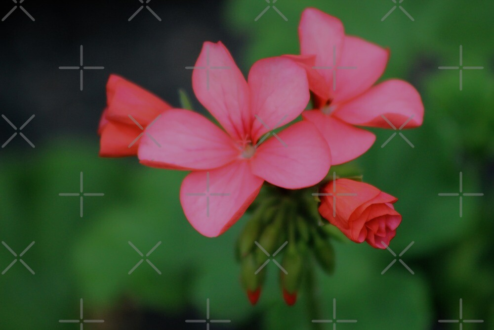 Pink Flowers by ejrphotography