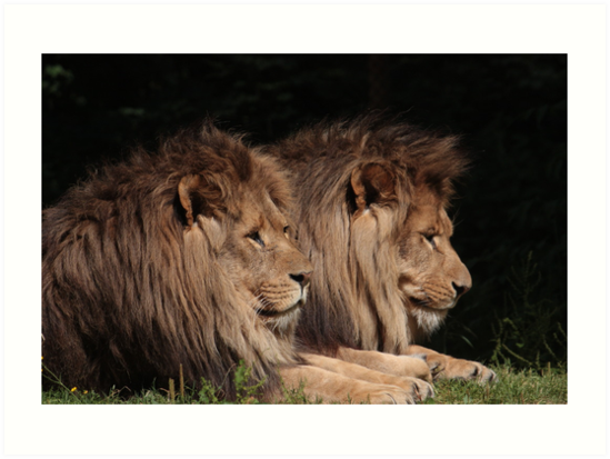 Lions In The U.K. by Jackvol