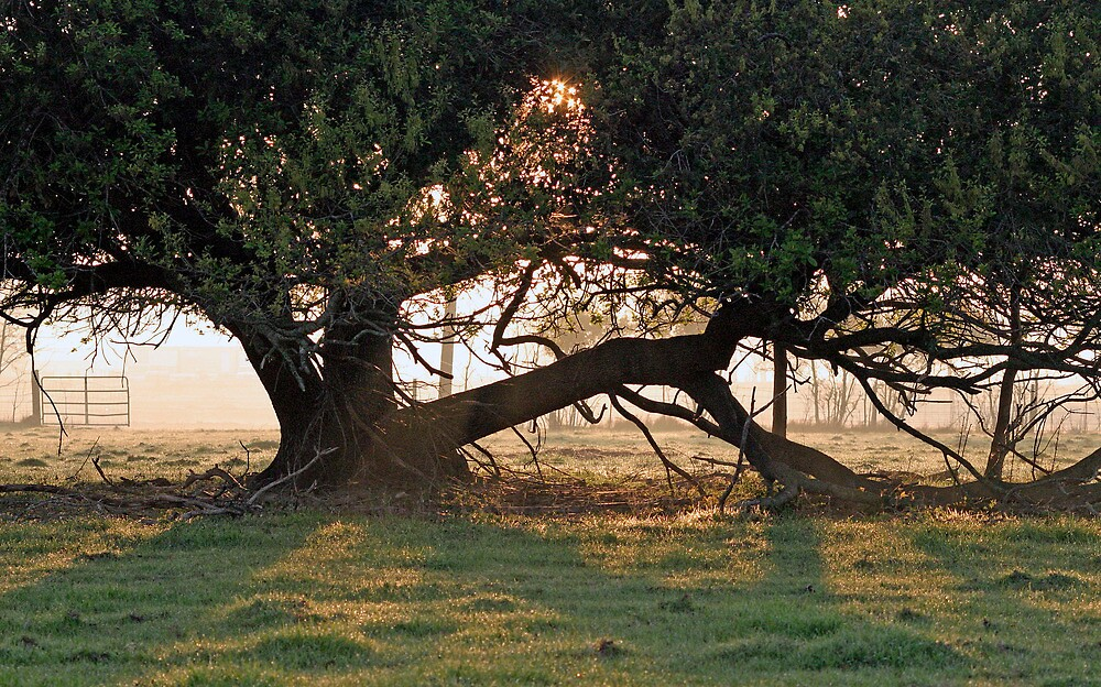 A Tree In Mississippi by Cora Wandel