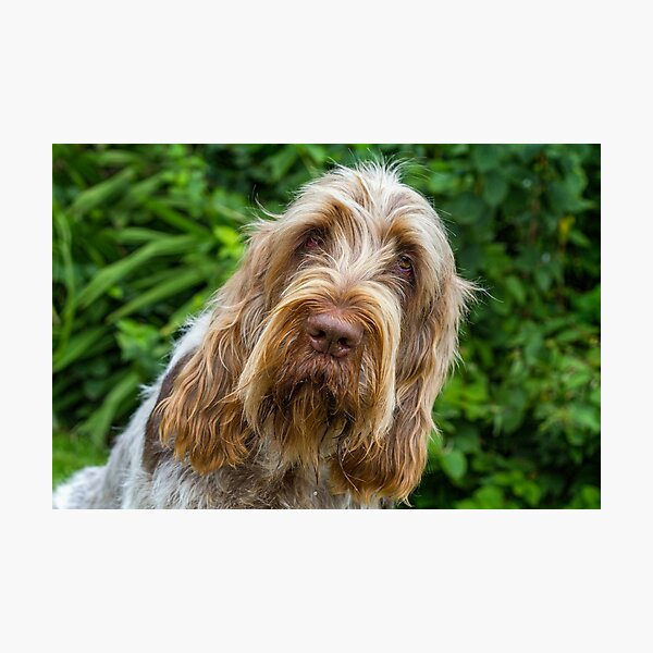 Shades of brown Spinone Photographic Print