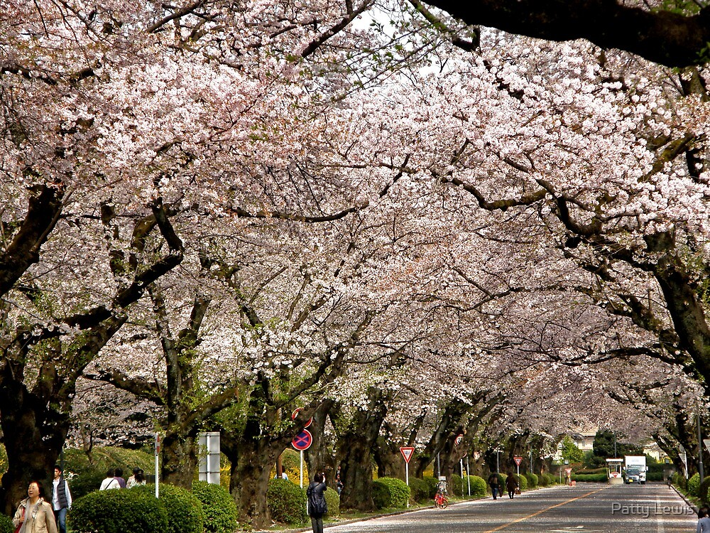 Canopy of Cherry Blossoms by Patty Lewis