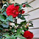 Mom's camellias by MarthaBurns