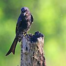 A Fork Tailed Drongo by Anthony Goldman