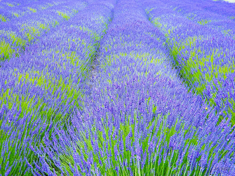 Lavender Field 3 by kchase