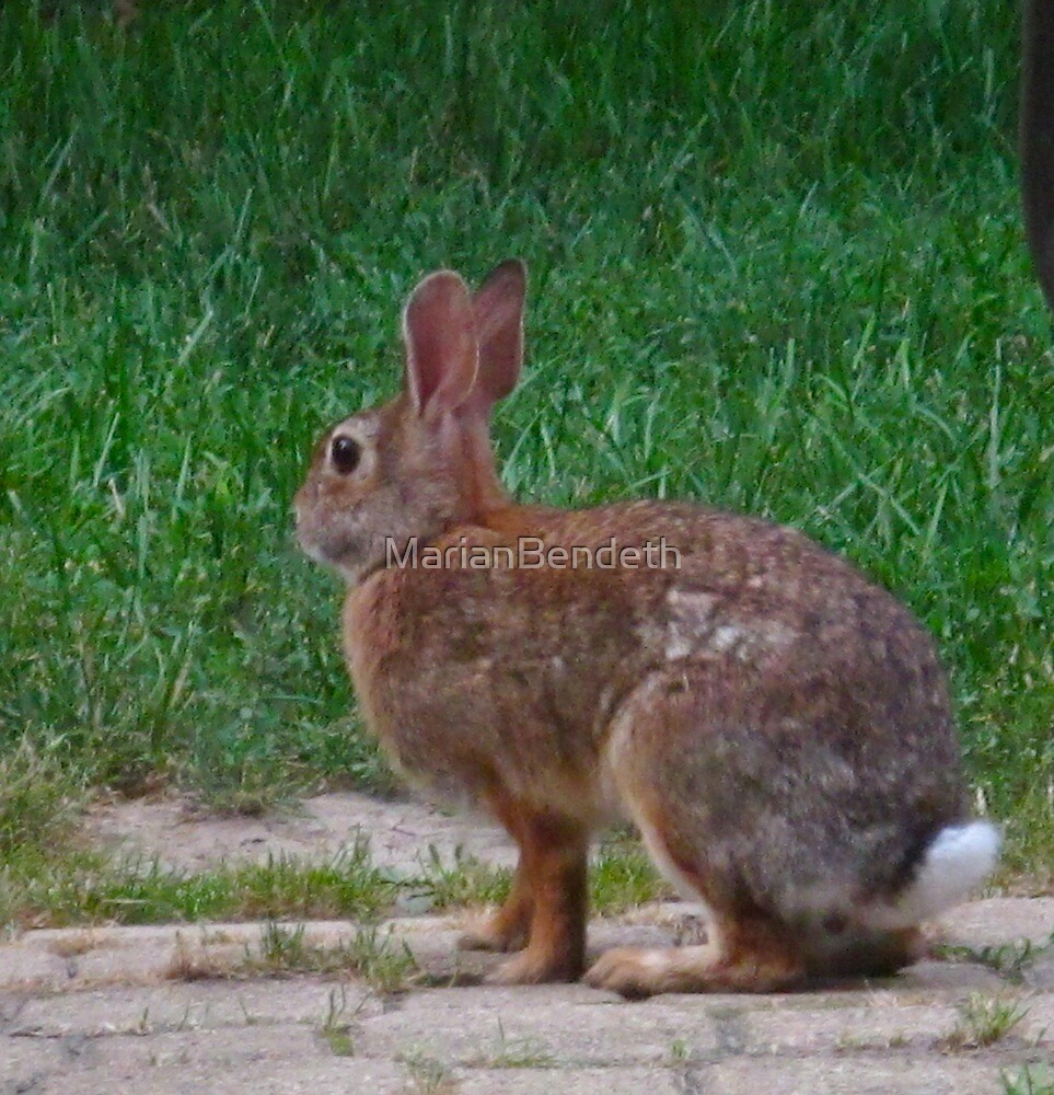 Peter Cottontail by MarianBendeth