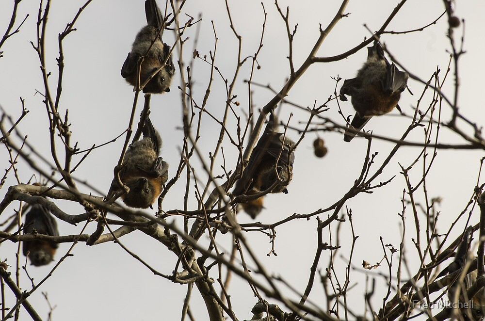 Fruit Bats in tree Warrnambool Botanic Gardens 20130606 5203  by Fred Mitchell