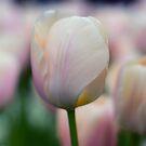 Softly Pink by Karen Havenaar