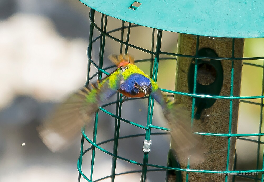 Painted Bunting Leaving the feeder (Best Viewed Large) by TJ Baccari Photography