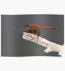 Meadowhawk Ready for Flight Poster