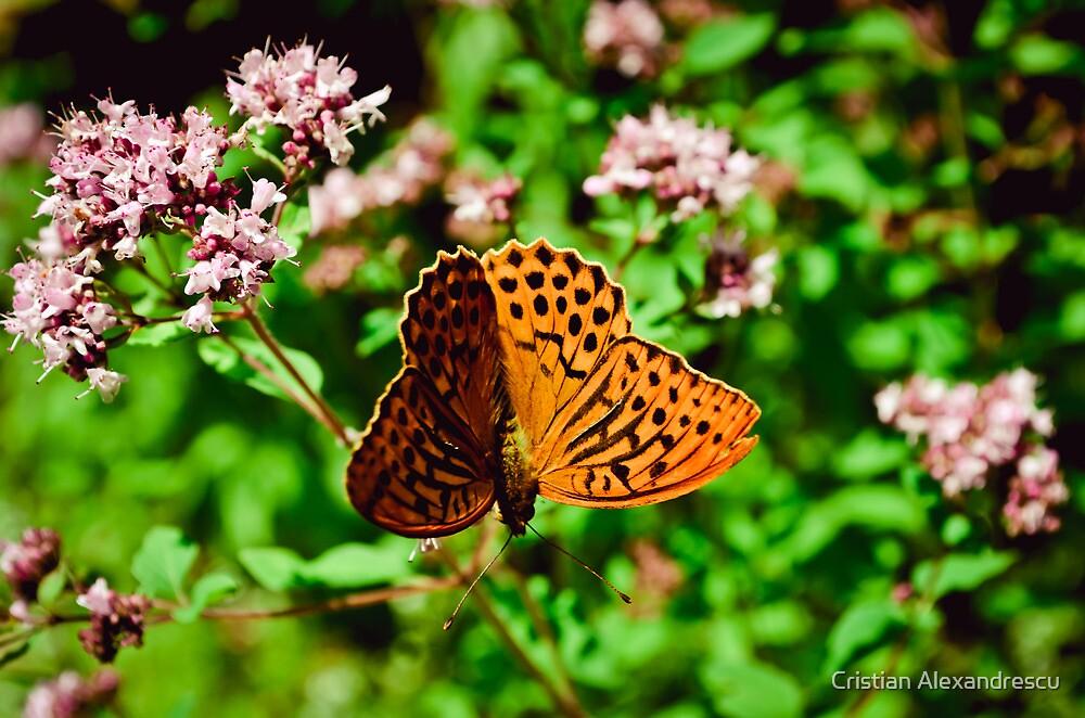 Butterfly by Cristian Alexandrescu