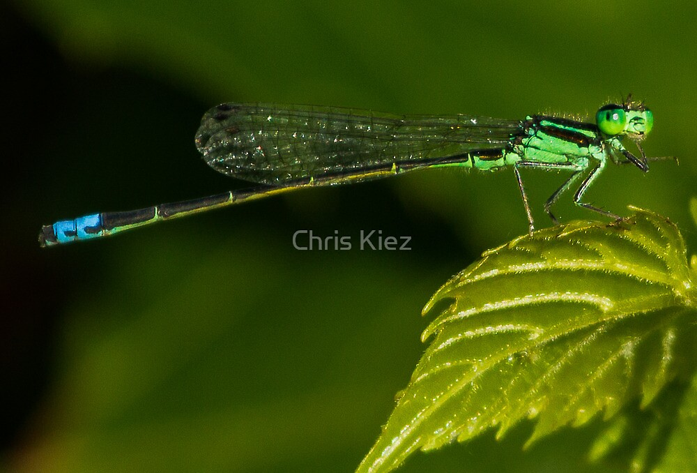 Damsel looking at me by Chris Kiez