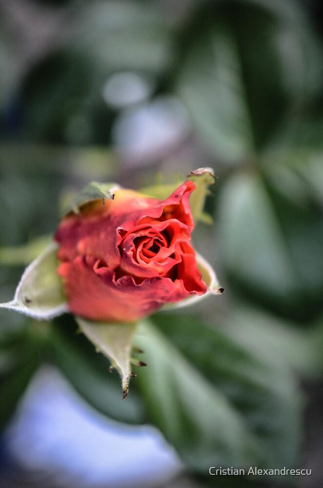 Flower by Cristian Alexandrescu