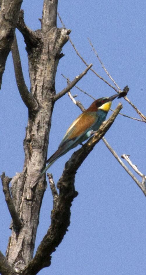 bee-eater by slavikostadinov