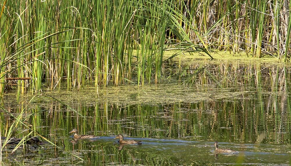 wild ducks by slavikostadinov