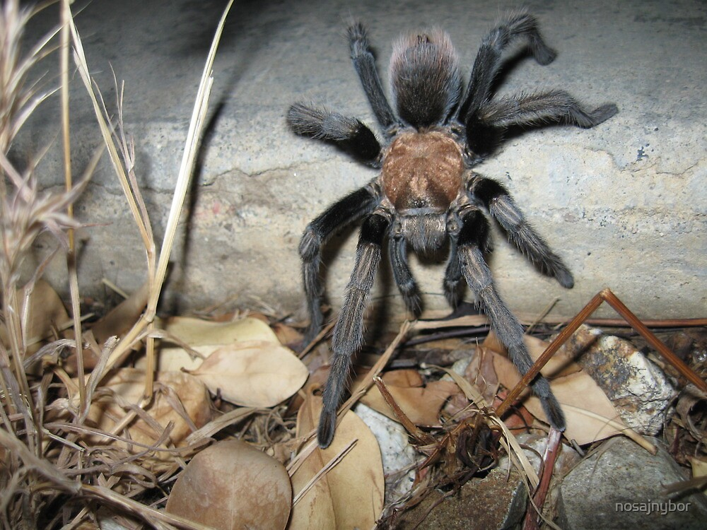 Tarantula  by nosajnybor