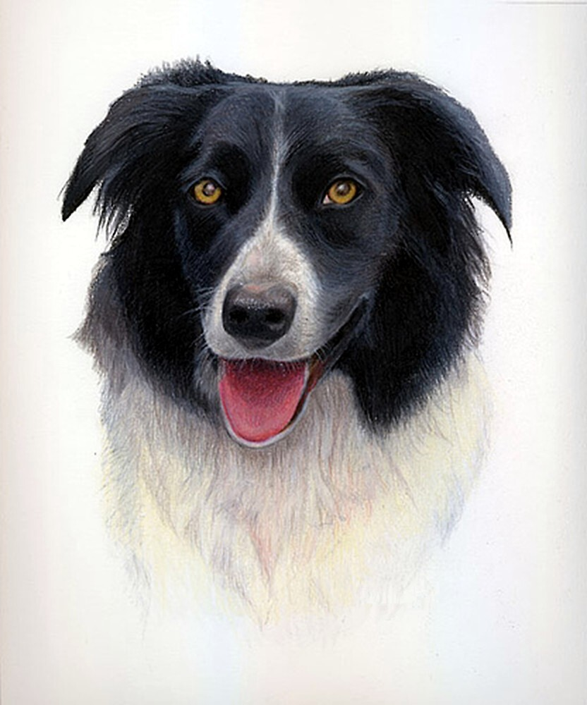 Border Collie Dog Portrait by Oldetimemercan