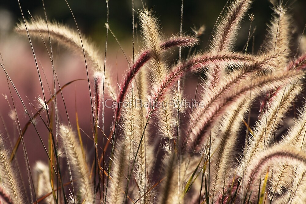 Red Fountain Grass by Carol Bailey-White