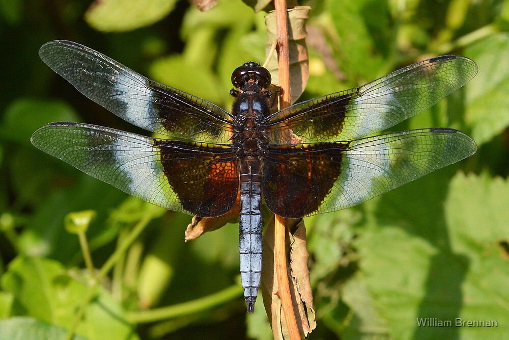 Male Widow Skimmer by William Brennan