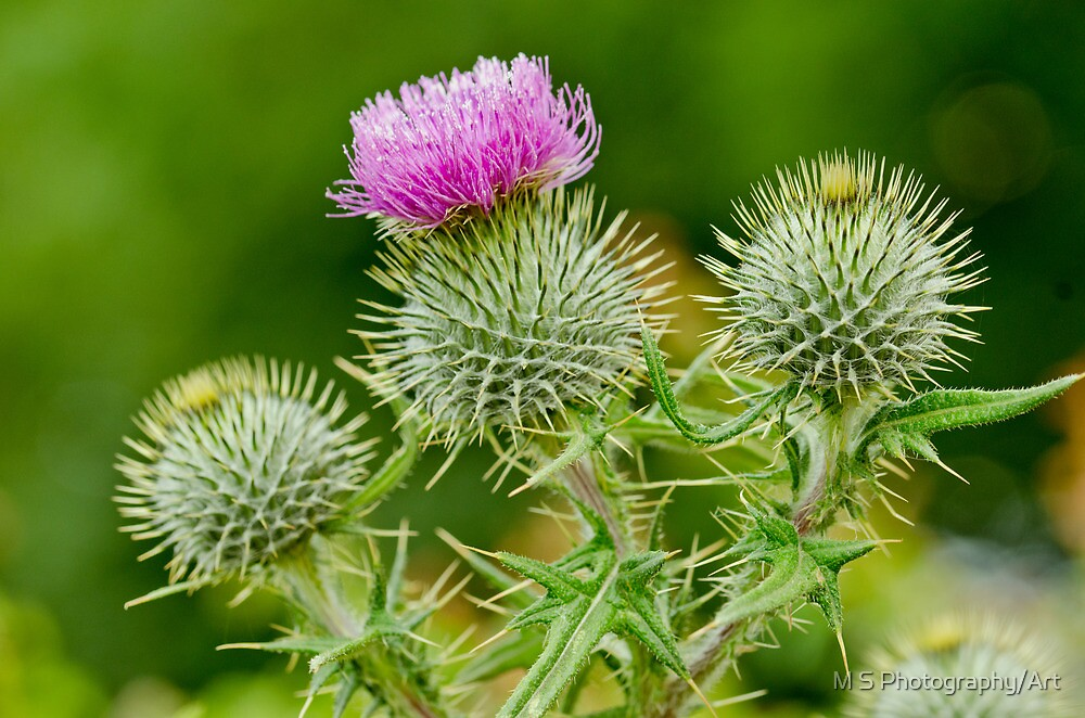 Bull Thistles by M S Photography/Art