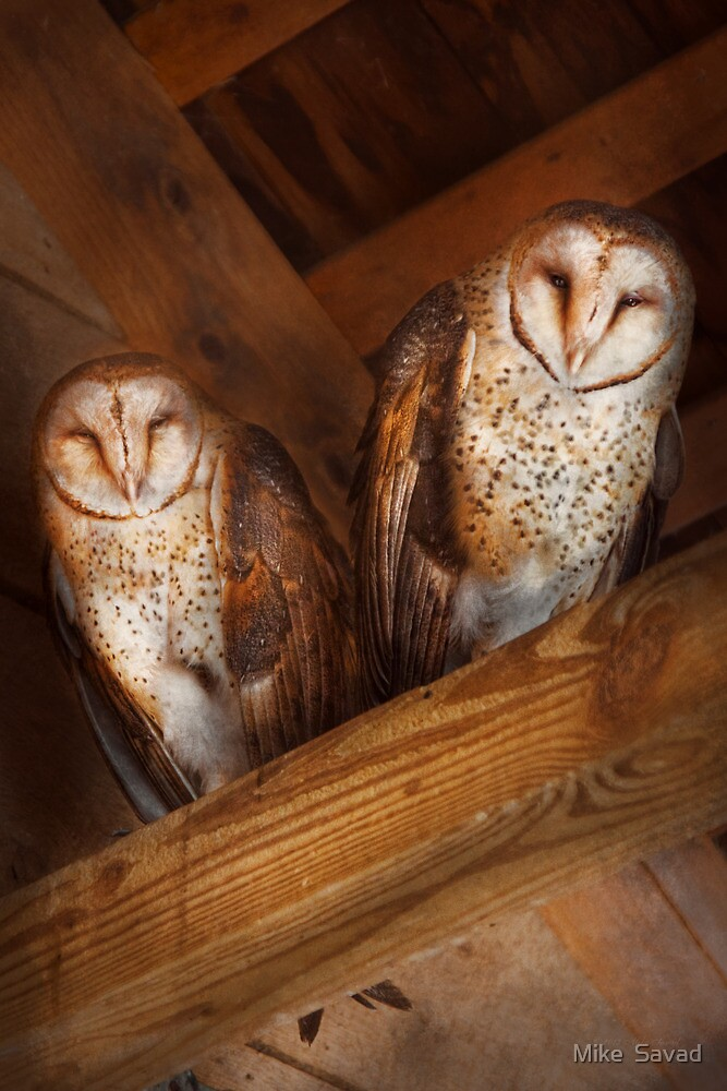 Animal - Bird - A couple of barn owls by Michael Savad