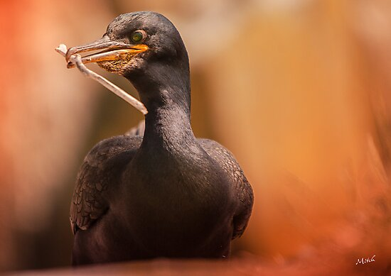 Shag Phalacrocorax Aristotelis by Wayman