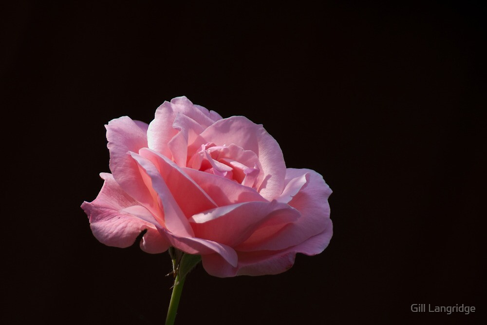 Pink Rose by Gill Langridge
