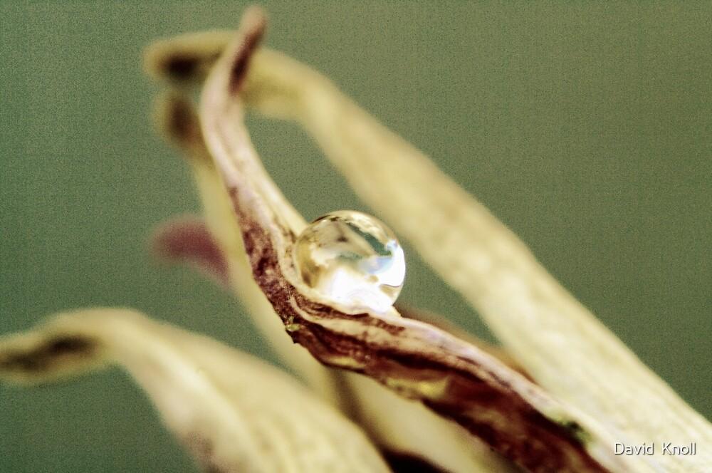 Drop on a petal #2 by David  Knoll