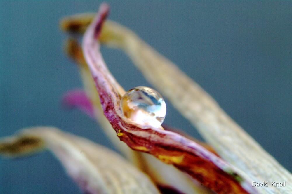 Drop on a petal #1 by David  Knoll