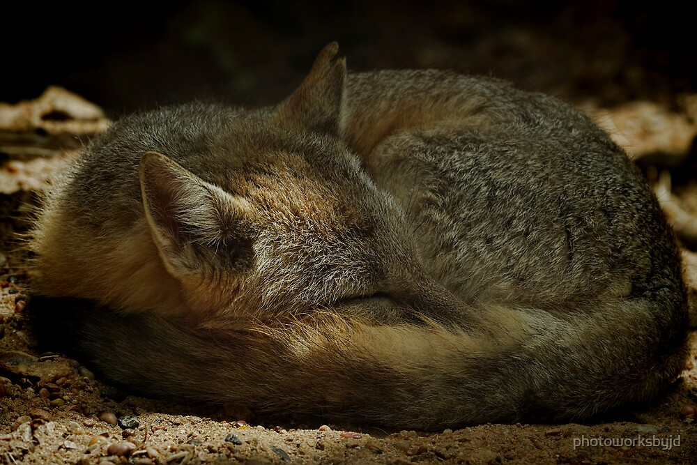 Texas Swift Fox by photoworksbyjd
