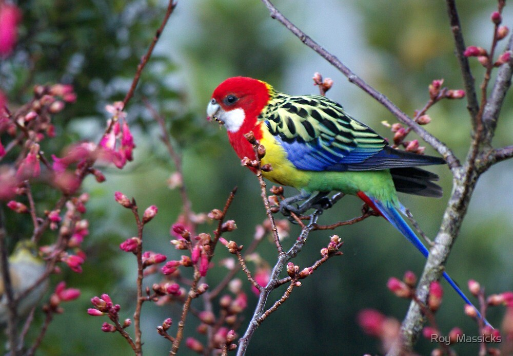 Eastern Rosella.........a seasonal visitor ! by Roy  Massicks