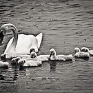 Swan family by ZAPcreativity