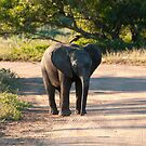 Baby Elephant by Clive S