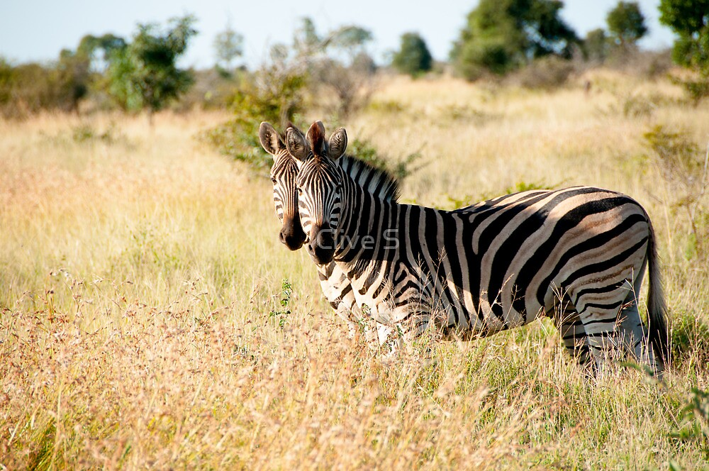 Mirrored Zebras by Clive S