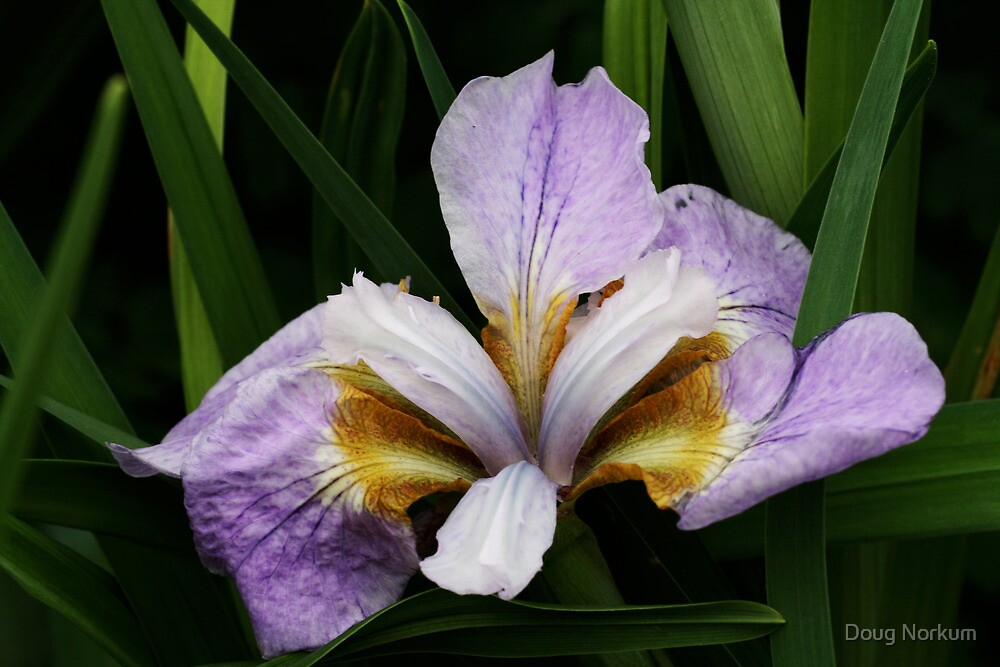 Majestic Iris ! by Doug Norkum