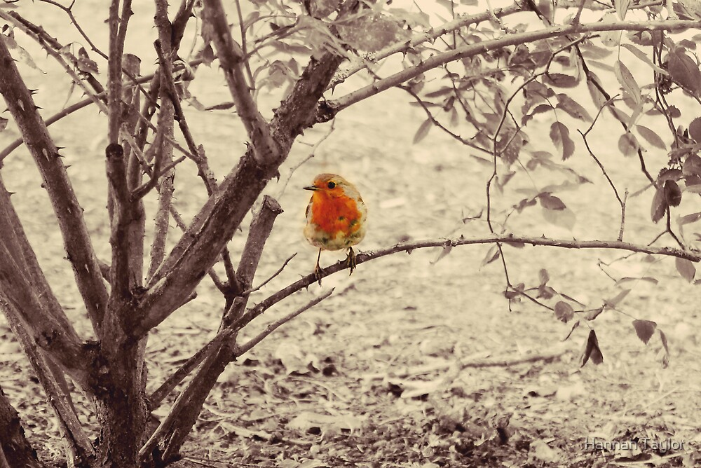 Robin by Hannah Taylor