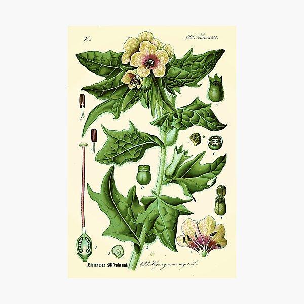 hyoscyamus niger (black henbane or stinking nightshade) - Vintage botanical illustration Photographic Print