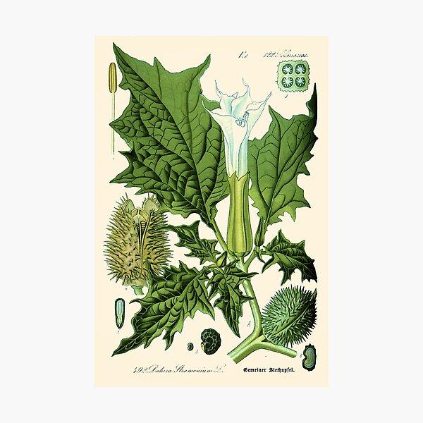 Datura stramonium (thorn apple - jimson weed or devil s snare) - Vintage botanical illustration Photographic Print