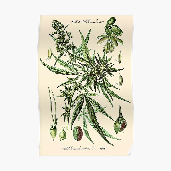 Cannabis Sativa - Vintage botanical illustration Poster