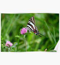 Zebra Stripe swallotail Poster
