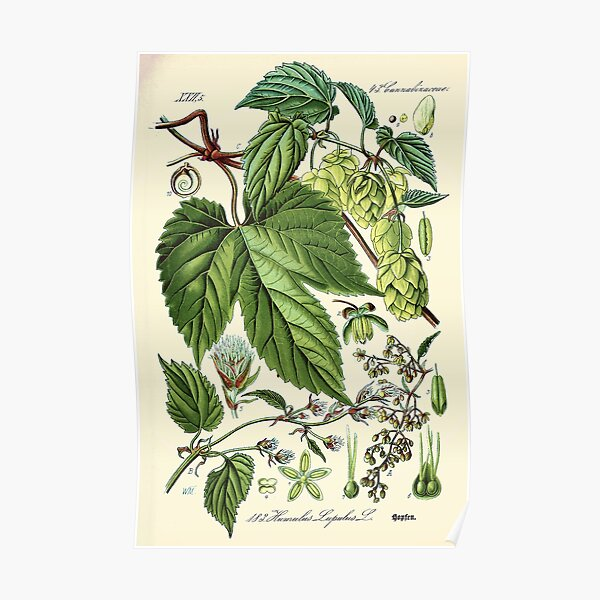 Humulus lupulus (common hop or hops) - Vintage botanical illustration Poster