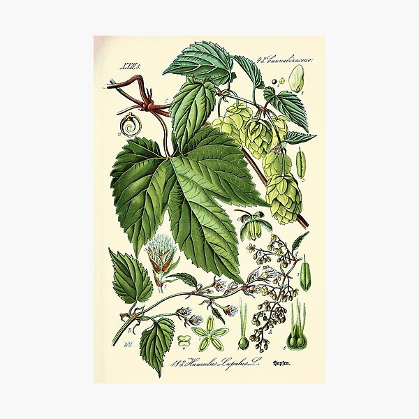 Humulus lupulus (common hop or hops) - Vintage botanical illustration Photographic Print