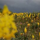 WILD BULBINE'S AT MATJIESFONTEIN, NAMAQUA,WESTERN CAPE, SOUTH AFRICA by Magriet Meintjes