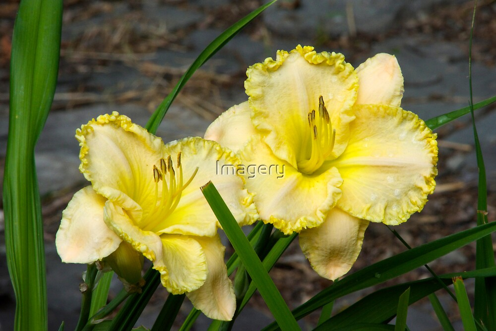 Day Lily 2013 by Imagery