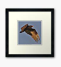 Turkey Vulture in Flight Framed Print