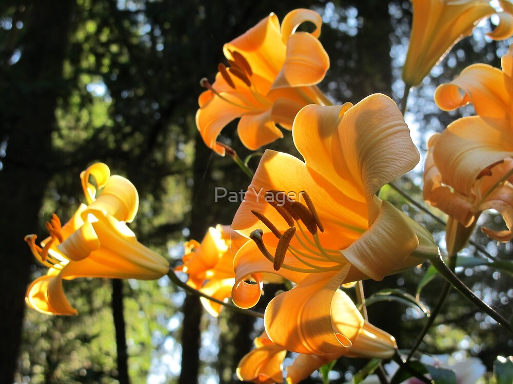"""""""Golden Splendor"""" Family of Lilies by Pat Yager"""