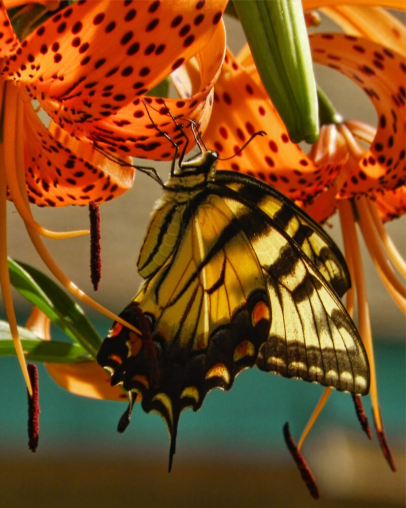 Butterfly on Turks Cap Lily by PineSinger