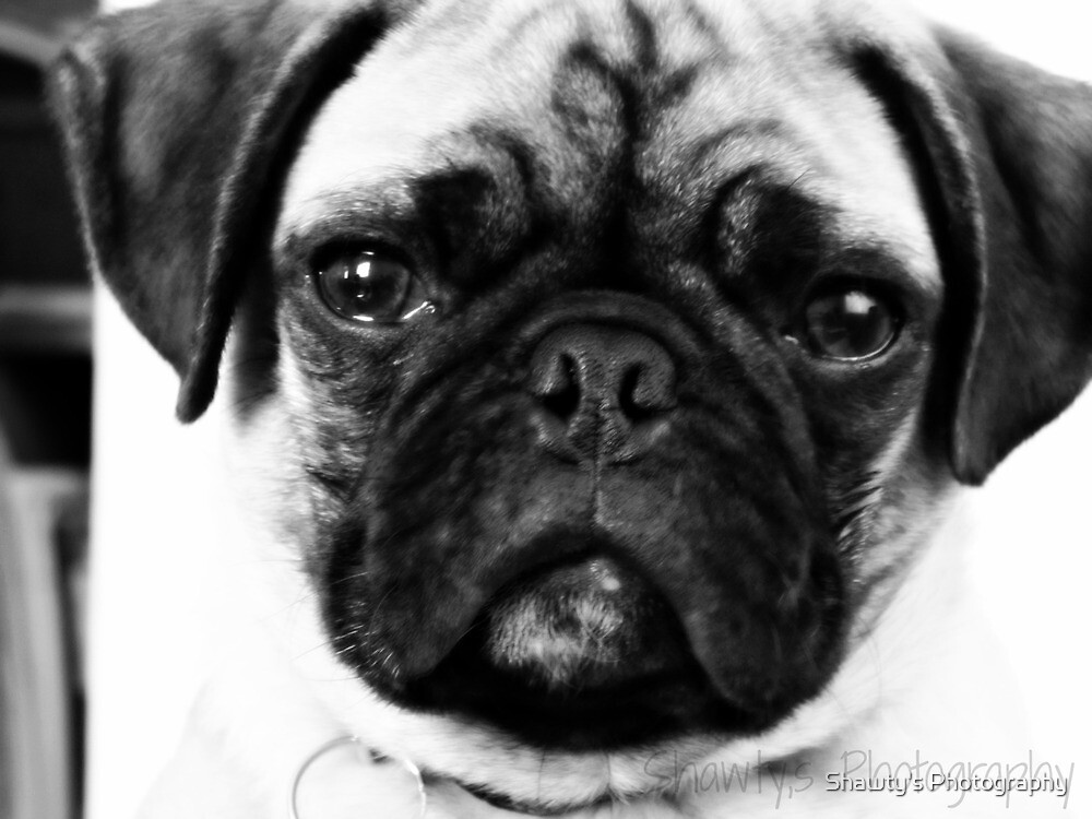 My pug Milo by Shawty's Photography