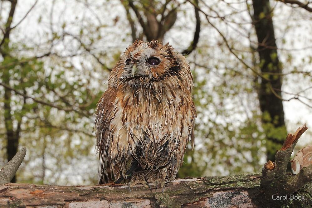 Wet Owl by Carol Bock